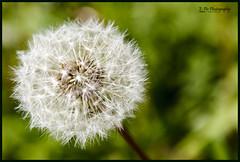 "Taraxacum: ""blowballs"" (E-PIC Photography by Johan Pape) Tags: flower macro nature field closeup weed focus herbs ngc dandelion explore fertility depth taraxacum diafragma paardenbloem pluisjes blowballs dutchphotographers"