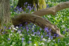 20160505-_DSF2919.jpg (ClifB) Tags: flower spring may dorset bluebell 2016 rspb garstonwood rspbreserve