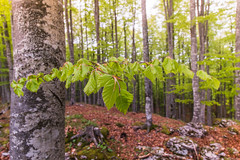 Fagus sylvatica's forest (carlo.goweather) Tags: wood nature forest canon spring beech lovenature fagus eos100d canoneos100d canon100d