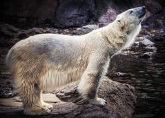 Polar Bear, stretching himself (aotaro) Tags: bear animal zoo olympus polarbear em1 zoorasia zoorasiayokohamazoologicalgardens omdem1 mzuikodigitaled75300mmf4867ii