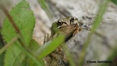 Rana temporaria (tom.lorthios) Tags: wild nature eau wildlife amphibian frog rana marais fort grenouille 2016 temporaria amphibien