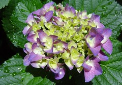 purple and white hydrangea in sunlight2 (Martin LaBar) Tags: flower rain southcarolina hydrangea sumter waterdrops hydrangeaceae sumtercounty swanlakeirisgardens