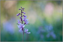 dictamnus albus (seozzy) Tags: flower macro karst carso albus dictamnus limonella velenoso urticante dittamo frassinella