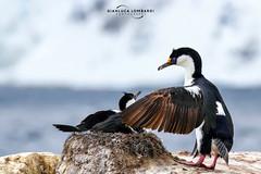 Imperial shags (Phalacrocorax atriceps) (Gianluca Lombardi Bani) Tags: travel nature wildlife antarctica adventure imperial shag