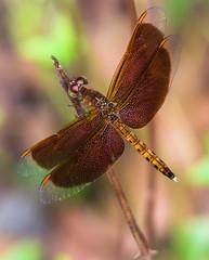 Dragonfly at Singapore Chinese Garden V (Robert-Ang) Tags: singapore dragonfly chinesegarden flyinginsect maroonwings