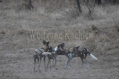 10075537 (wolfgangkaehler) Tags: africa playing nationalpark african wildlife predator zambia africanwilddog southernafrica predatory 2016 africanhuntingdog zambian southluangwanationalpark africanwilddoglycaonpictus