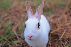 hello (Spice  Trying to Catch Up!) Tags: white color rabbit bunny eye art grass japan canon fur geotagged nose photography eos photo october asia flickr image wordpress picture ears blogger whiskers livejournal   facebook         twitter   ibarakiprefecture tumblr    watarasegawa miniusagi 5dmark