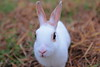hello (♥ Spice (^_^) 浦辻 クレザリン ネロナ) Tags: white color rabbit bunny eye art grass japan canon fur geotagged nose photography eos photo october asia flickr image wordpress picture ears blogger whiskers livejournal 日本 動物 facebook 写真 白 草 目 うさぎ 兎 可愛い 耳 twitter 鼻 茨城県 ibarakiprefecture tumblr 渡良瀬川 キャノン ペット watarasegawa miniusagi 5dmarkⅱ カラー ウサギ ラビット バニー アニマル