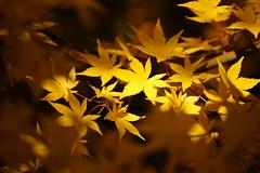 Spot Light (peaceful-jp-scenery) Tags: autumn japanesemaple     lakekawaguchi  dslra900 sal70300g sony70300g
