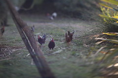 Roosters (phot0matt) Tags: portugal lisboa lisbon lensflare roosters galos