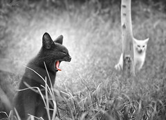 The Beast and The Beauty (Ben Heine) Tags: park light blackandwhite baby pets tree cute green art love nature monochrome grass animal silhouette tongue composition cat mouth nose photography yummy feline funny chat sweet tunisia jaw duo tiger lion yawn lovers outoffocus sharp crispy relationship fantasy tired scream expressive series canon5d hungry sousse roar whitecat affair symbolic langue yawning postprocessing herbes billement baillement selectivecoloring troncdarbre teleobjectif benheine hasdrubal rugissement thebeastandthebeauty catnipaddicts wildandquite