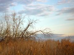 Reaching Across The Sea (gharness) Tags: trees sky reeds flora idaho cattails wetlands nampa wilsonsprings wilsonponds andersonwetlands
