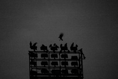 crows2 (enki22) Tags: crow crows corvi nx10