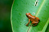 poison dart frog (j / f / photos) Tags: deleteme5 deleteme deleteme2 deleteme3 deleteme4 deleteme6 deleteme9 deleteme7 costarica saveme4 saveme5 saveme saveme2 saveme3 deleteme10 tadpole poisondartfrog delteme8 2011 oophagapumilio