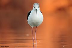 Cigeuela (Raulbaena) Tags: bird birds sevilla agua aves ave pluma naranja marisma plumas volar brazodeleste himantopus vuela cigeuela cigueuela lospalacios
