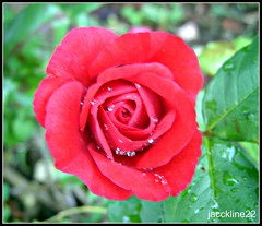 amour.........................Explore du 05/12/2011 (jackline22 .en vacances) Tags: flowers france nature fleur rose photos explorer jardin collection explore passion reine rosier rosire