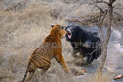 Bear and Tiger fighting in the wild (dickysingh) Tags: wildlife fighting ranthambore ranthambhore slothbear naturesfinest flickrbigcats beartigerfight