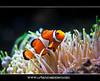 Ocellaris Clownfish - Amphiprion ocellaris (UrbanMescalero) Tags: fish nature copenhagen denmark marine clownfish anemone danmark tropicalfish danmarksakvarium amphiprionocellaris 2011 ocellarisclownfish canoneos5dmarkii canonef70200lf28isusm doubleniceshot tripleniceshot mygearandme mygearandmepremium mygearandmebronze wwwurbanmescalerocom gorankljutic flickrstruereflection1 flickrstruereflection2 flickrstruereflection3 flickrstruereflection4 allofnatureswildlifelevel1 allofnatureswildlifelevel2 danishaquarium urbanmescalero