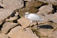 I Don't Want to Slip Through the Cracks! (The Spirit of the World) Tags: bird nature river rocks wildlife egypt nile fowl luxor egret famousriver fantasticnature banksofthenile