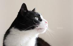 Felix (Hipwell Photography) Tags: cat 50mm felix sharp tuxedo f18 hipwell