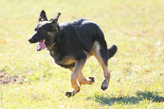 Running (wmliu) Tags: dog mammal canine running germanshepherd animail wangwang wmliu