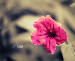 Pinky .. (    , ) Tags: pink flowers flower macro nature rose canon effects ross natural d pinky 600 tones effect tone edit qatar     d600   qtr  600d    ameera      q6r     amoora         qa6ar      canon600d  600  600 600