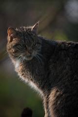 wild cat (Bart Hardorff) Tags: wildcat nuenen dierenrijkeuropa wildekat zoogdier barthardorff barthardorffwildekatzoogdier