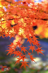 Tofukuji Temple Autumn Leaves (fravenang) Tags: autumn fall japan temple kyoto      platinumheartaward