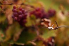 (eflon) Tags: blur vineyard dof tie vine grapes grape grapevine bokoeh