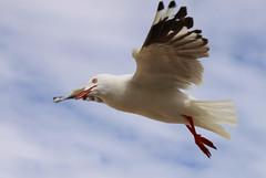 Flying Seagull 2 (tco1961) Tags: sea beach silver seagull gull manly australia nsw mygearandme mygearandmepremium mygearandmebronze mygearandmesilver mygearandmegold mygearandmeplatinum mygearandmediamond