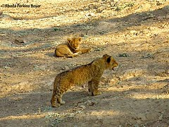 Lion cubs (Perkins-Boyer Photos) Tags: lion safari zambia africananimals southluangwanationalpark