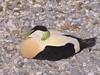 Somateria mollissima - Common Eider (male) (Forest (GKweb.it)) Tags: male bird birds canon duck ducks eider sx20 commoneider somateriamollissima maschio denoise edredone canonsx20is canonsx20 denoise5 edredonecomune