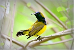 Olive-backed Sunbird (Ericbronson's Photography) Tags: bird nature canon interesting singapore niceshot wildlife sunbird olivebacked ericbronson mygearandme mygearandmepremium mygearandmebronze mygearandmesilver mygearandmegold mygearandmeplatinum mygearandmediamond