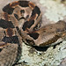 Young Timber Rattlesnake
