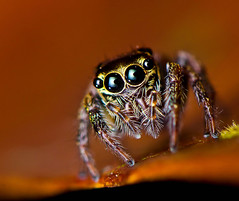 Unknown Salticidae (Zeen.) Tags: portrait hairy macro nature nikon spiders zeen hussain salticidae hirzi