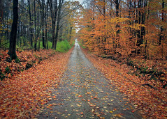Fall Forest Road (-dangler) Tags: county allegany klipnockystateforest newyorkfallforestdirtroadorangeleavesscenicnatureoutdoosoutsidenywnynystreesprettyruralseasonal