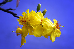 Apricot_MG_8294 (browneyes1971) Tags: apricotflower macrocloseups yearofdragon newyear2012