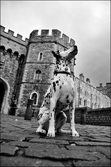 Belle (Bob the Binman) Tags: bw dog castle monochrome blackwhite nikon canine windsor 365 dalmatian 366 d90