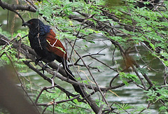 The Greater Coucal or Crow Pheasant (Centropus sinensis) (Jehane*) Tags: india bird nikon chennai birdsanctuary jehane 2011 centropussinensis vedanthangal crowpheasant vedanthangalbirdsanctuary nikond5000 jehanephotography thegreatercoucal