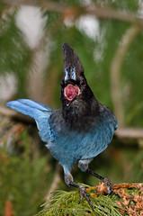 20120101-_D7K8510-Edit.jpg (jd_hiker) Tags: usa nature birds washington cities places subject stellersjay bonneylake