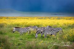 Ngorongoro Zebra (Levi Drevlow) Tags: flowers green nature yellow fauna tanzania wildlife scenic valley zebra plains ngorongorocrater rainyseason eastafrica rift naturesfinest supershot abigfave anawesomeshot colorphotoaward overtheexcellence blinkagain bestofblinkwinners