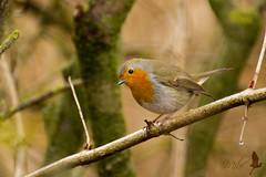 Pettirosso (_milo_) Tags: italy bird canon eos italia erithacusrubecula tamron oiseau uccello oasi 70300 angera pettirosso 60d birdperfect bruschera