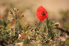 Single red papaver flower (Kitty Terwolbeck) Tags: red flower nature dunes duinen castricum klaproos papaver bloem noordhollandsduinreservaat