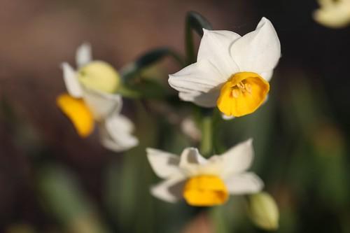 Narcissus tazetta var. chinensis