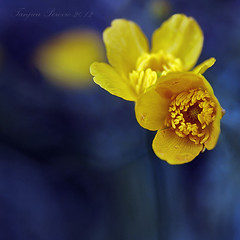 Creeping Buttercup (Tanjica Perovic) Tags: life blue plants plant flower macro nature grass yellow square petals spring natural awakening blossom sweet bokeh meadow fresh sensual squareformat bloom getty softfocus pollen lovely inviting yellowflowers tender freshness gettyimages primarycolours blooming anthers floweringplant bluebackground yellowandblue pistils creepingbuttercup ranunculusrepens  imagepoetry canoneos400d sigma1770mmf2845dcmacro tanjicaperovicphotography availableforlicensingongettyimages ljutic