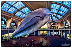 In The Hall of Ocean Life (Jeff_B.) Tags: ocean nyc newyork history museum america marine manhattan whale museumofnaturalhistory americanmuseumofnaturalhistory oceanlife milstein