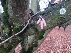 hazelnut Hall's Giant cultivar catkin (growing hazelnuts) Tags: farming treeroots hazelnuts hazelnuttree plantingtrees nurserystock yearlingtree pollenizinghazelnuts