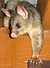 Pete the Possum who lived above our room, Port Stephens, Australia (Nomad Boff) Tags: travel possum cute night canon rodent australia backpacker portstephens eastcoast canonxs 1000d