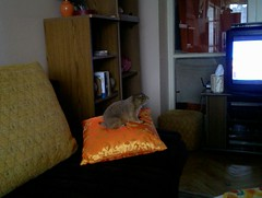 Kaja watching TV (Nazgul03) Tags: prairiedog psoun kaja