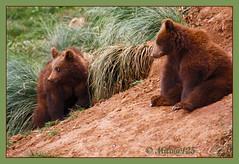 osos (2) (MILA@125) Tags: naturaleza nature canon cantabria osos cabrceno mygearandme mila125